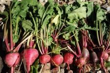 beet line-up